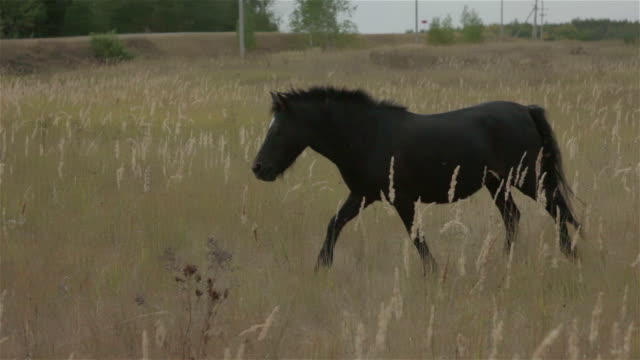 black pony runs on yellow field - cavalla video stock e b–roll