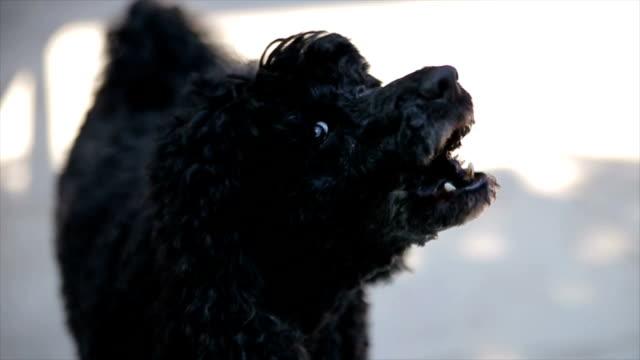 Black poodle barking,close up video