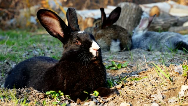 Black rabbit lying on the grass in the forest and looking at the camera