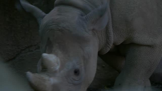 Black Rhino in 4K