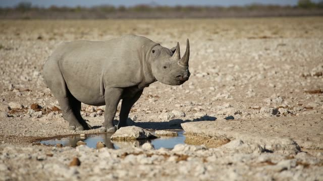 Black rhinoceros (Diceros bicornis) at a waterhole, Etosha National Park, Namibia