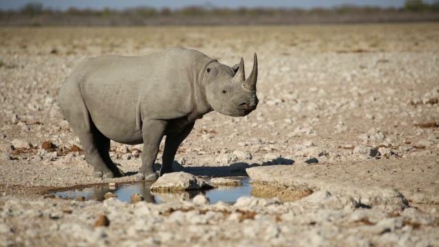 vídeos de stock, filmes e b-roll de rinoceronte-negro (diceros bicornis) em um poço, parque nacional etosha, namíbia - caldeirão água parada