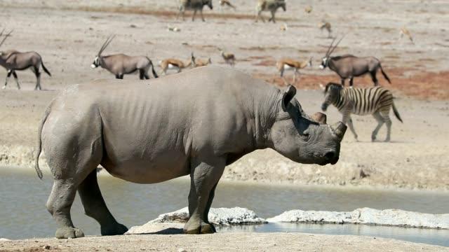vidéos et rushes de rhinocéros noir à un point d'eau - etosha - plan d'eau