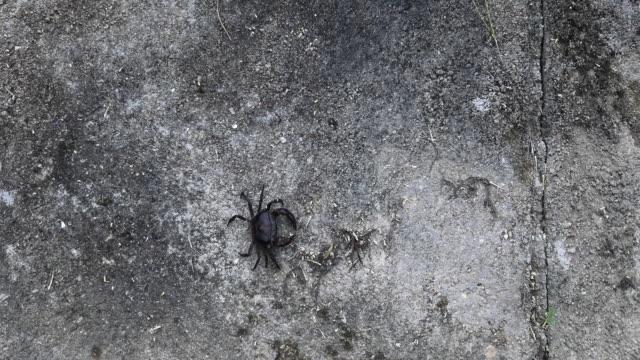 Black rice crab crawl on concrete wall. video
