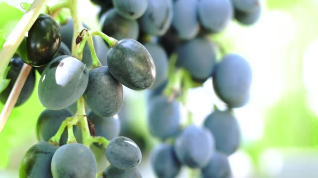 black ripe grapes closeup vineyard