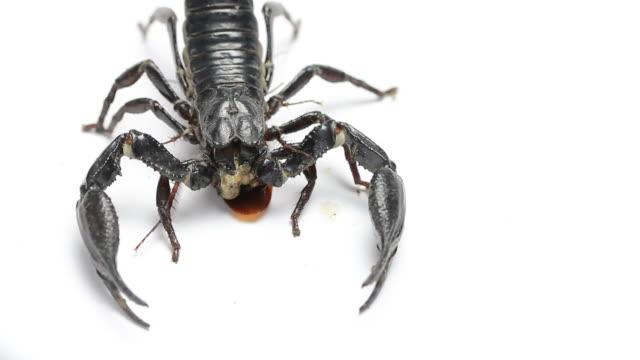 Black scorpion eating video