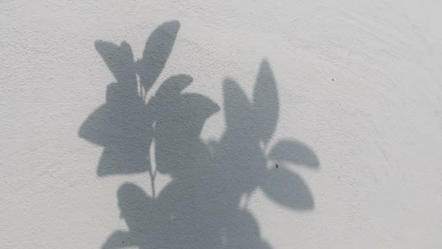 Black shadows, the leaves which were blown on the white concrete wall. Close-up of the shadow of the leaves, which were blown by the wind on the white concrete wall in the morning sun. botany stock videos & royalty-free footage
