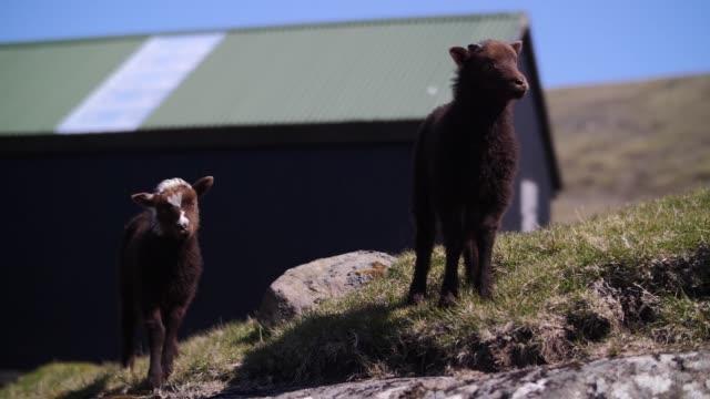черные овцы едят траву на лугу - white background стоковые видео и кадры b-roll