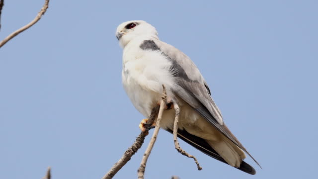 Black shouldered kite perched on a tree branch