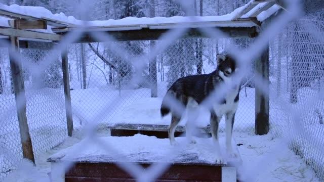 ラップランド地方の木々と雪に囲まれた大きなケージの中の黒いシベリアのハスキー。-ミディアムショット - 中林大樹点の映像素材/bロール
