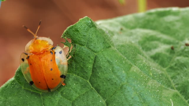 Black spotted orange tortoise beetle
