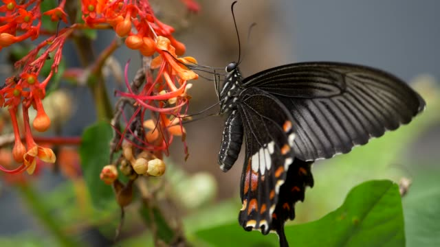 vídeos de stock e filmes b-roll de black swallowtail butterfly on the flower - flower white background