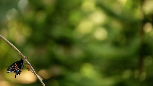 Borboleta de Swallowtail preto Toma voo - vídeo