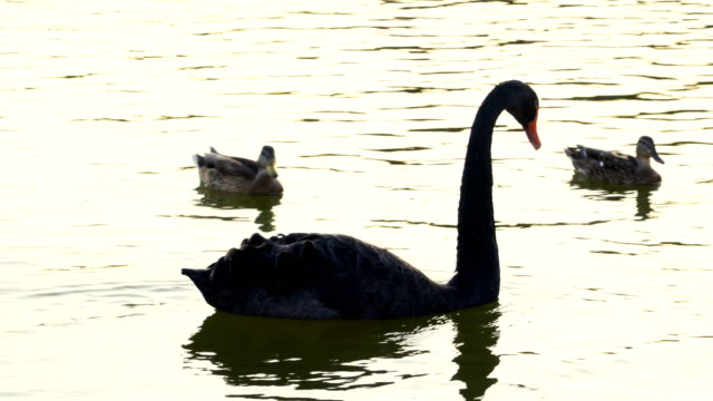 Black Swan and ducks gliding over water
