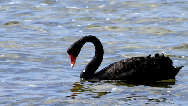Black Swan, Cygnus atratus, feeding A Black Swan, Cygnus atratus, feeding animal wing stock videos & royalty-free footage