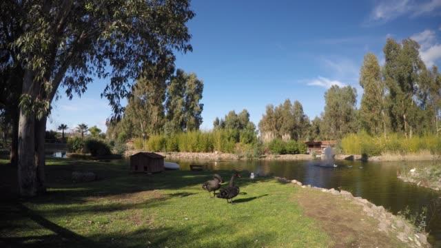 vídeos y material grabado en eventos de stock de black swan en la naturaleza cerca del lago - charca