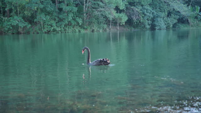 Black swan over the lake in the evening Pang Ung Forestry Plantations, Maehongson Province, North of Thailand Asia. Tourist attractions and camping relax with nature.