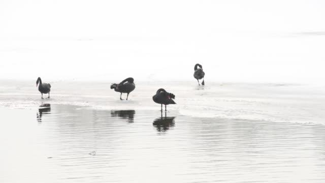 Black swan walking on ice