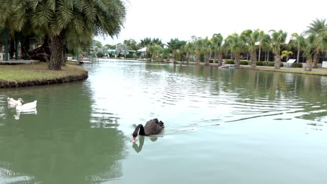 Black swans swim on the lake