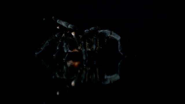 Schwarze Vogelspinne schleicht sich in die dunkle, Zeitlupe – Video