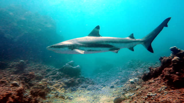 Black Tip Reef Shark (Carcharhinus melanopterus) swimming close up on coral reef, Phi Phi Islands, Andaman Sea, Thailand. video