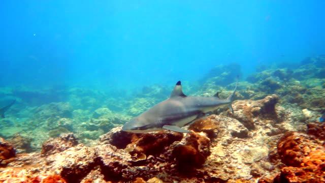 Black Tip Reef Shark (Carcharhinus melanopterus) swimming close up video