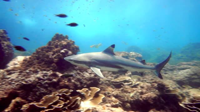 Black Tip Reef Shark (Carcharhinus melanopterus) underwater close up video