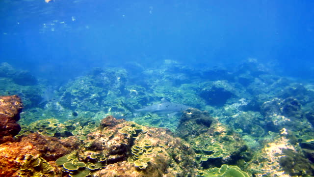Black Tip Reef Sharks (Carcharhinus melanopterus) swimming close up on coral reef, Phi Phi Islands, Andaman Sea, Thailand. video