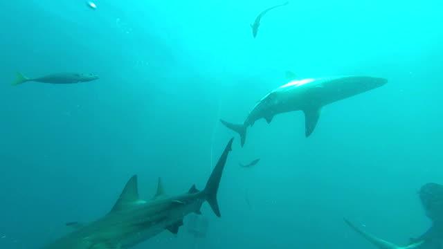 siyah ucu köpekbalıkları yem yüzme - kafes sınırlı alan stok videoları ve detay görüntü çekimi
