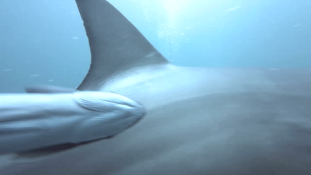 schwarze spitze haie schwimmen um köder - käfig stock-videos und b-roll-filmmaterial
