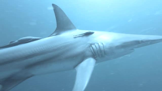 Black tip Sharks swimming around bait video