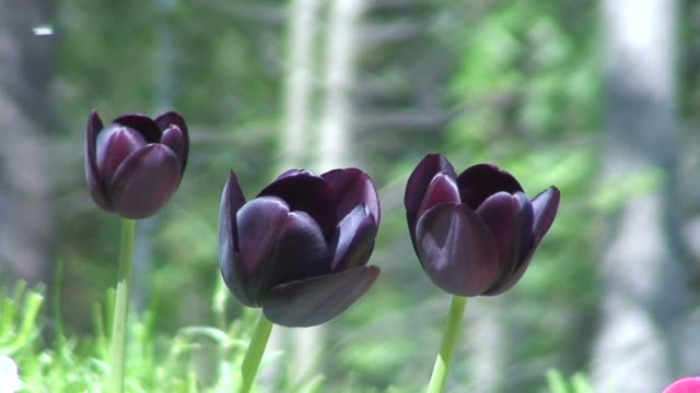 Black tulips one video