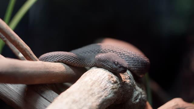Black viper video