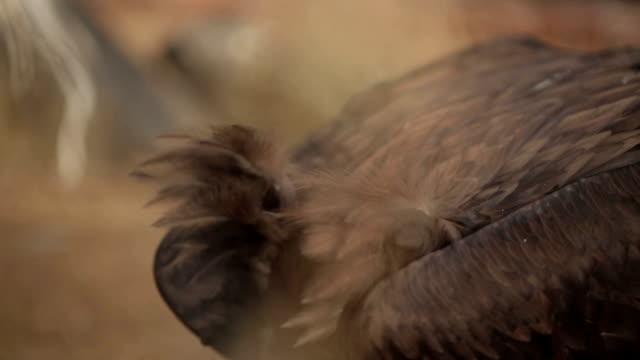 Black Vulture Eat Prey video