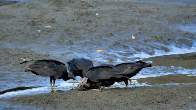 Black Vultures eating carrion: Costa Rica