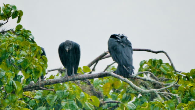 Black vultures on tree branch under the rain video