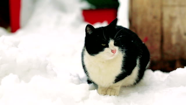 black white cat standing on the snow video