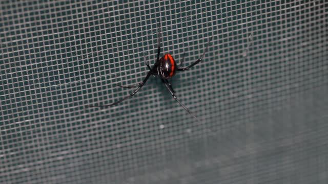 Black Widow South America (HD) video