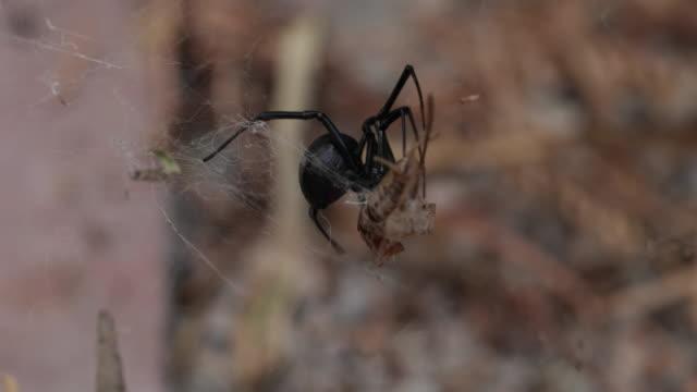 Black Widow Spider - 4K video