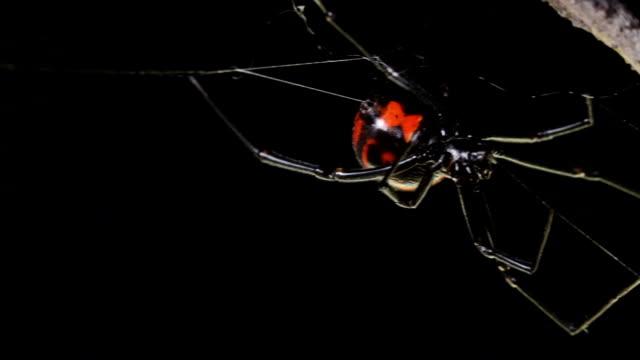 Black widow spider video