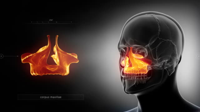 Black x-ray skull animation - MAxilla - corpus maxillae 3D anatomy concept animal skeleton stock videos & royalty-free footage