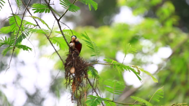 Black-and-Red Broadbill perching on a branch Bird in nature, Black-and-Red Broadbill perching on a branch animal limb stock videos & royalty-free footage