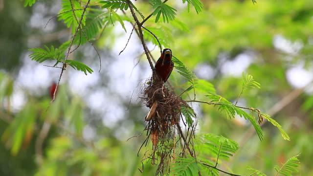 svart-och-röd brednäbb sittande på en gren - djurlem bildbanksvideor och videomaterial från bakom kulisserna