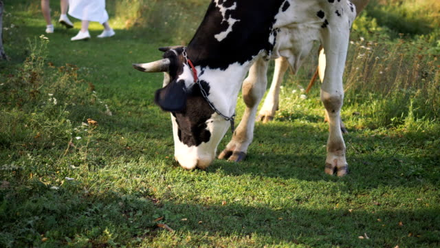草を食べる白黒の斑点牛。背景には若いカップルが歩いているのが見える。 - 牧畜場点の映像素材/bロール