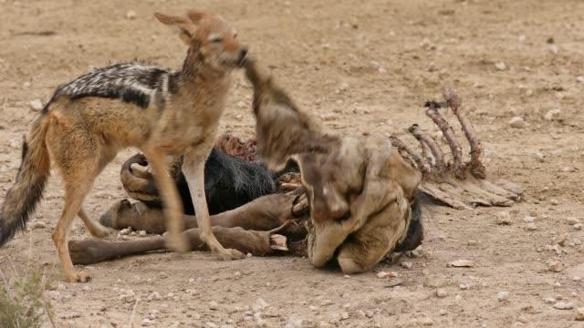 stockvideo's en b-roll-footage met een zwart-gesteunde jakhals die de overblijfselen van een gnoes opruimt, kalahari, zuid-afrika - dood dier