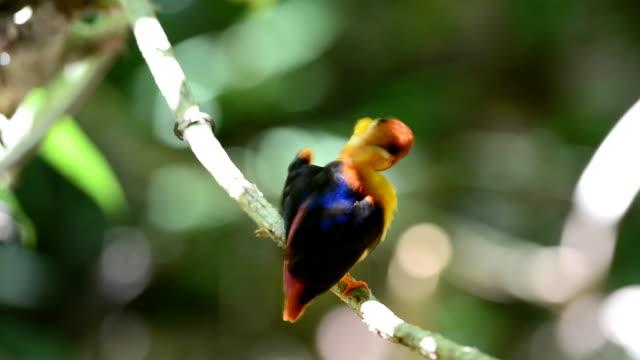 Black-backed Kingfisher bird video