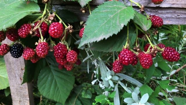 Blackberry growth in the garden