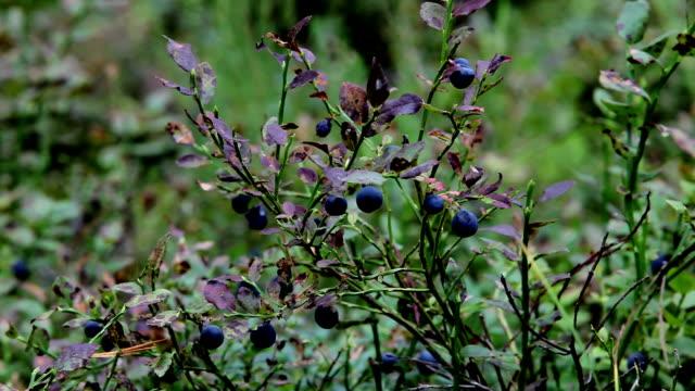 blackberry video