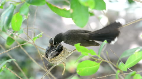 blackbird feeding little birds in their nest - memeli stok videoları ve detay görüntü çekimi