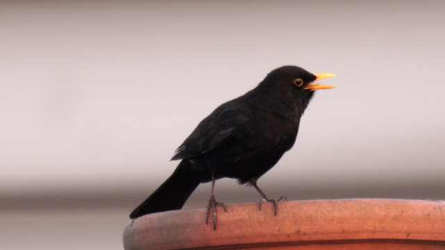 a blackbird singing on top of a chimney in the city, with clear crisp sound - appollaiarsi video stock e b–roll